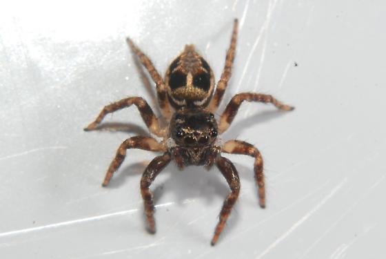 Jumping Spider - Anasaitis canosa