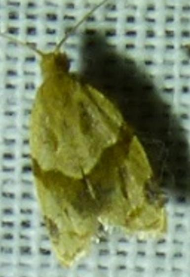 unknown moth - Clepsis peritana