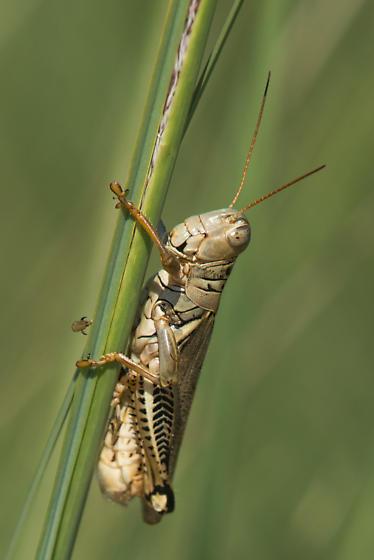 Grasshopper - Melanoplus differentialis - male