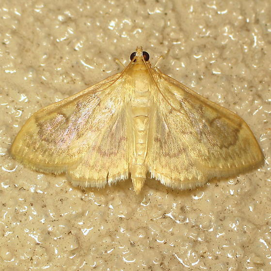 Crambid at rest area - Anania labeculalis