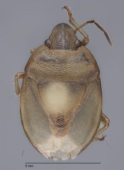 Hemiptera 18 - Chlorochroa viridicata