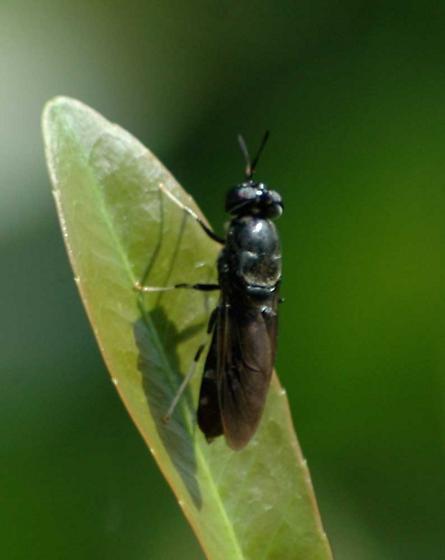 Sawfly? - Hermetia illucens