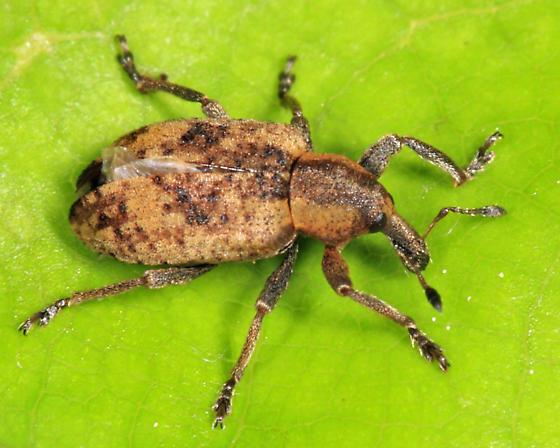 weevil - Hypera rumicis