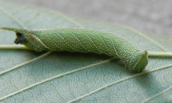 Unknown caterpillar with frass attached to rear - Amorpha juglandis