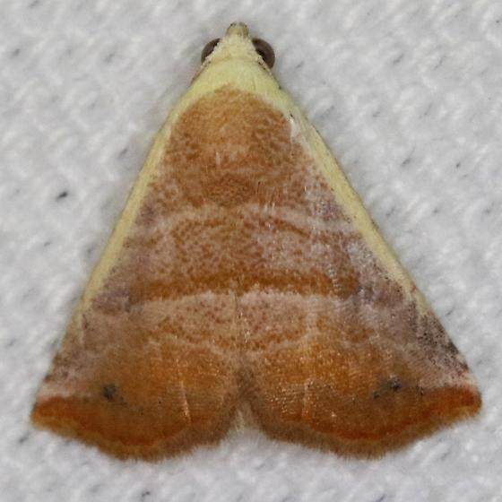 Eublemma cinnamomea - Hodges#9077 - Eublemma cinnamomea