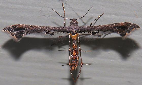 Plume Moth - Michaelophorus indentatus