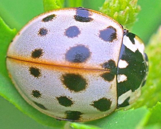 Beetle ~7mm - Anatis labiculata