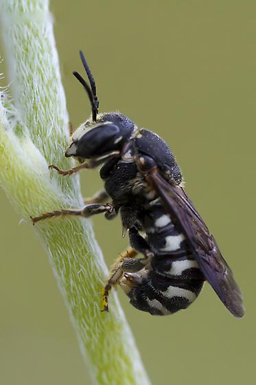 Sand Resin Bee - Dianthidium simile - male