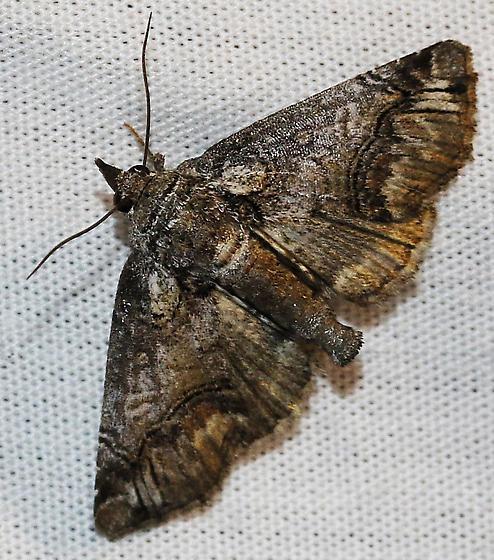 unknown moth - Paectes - female
