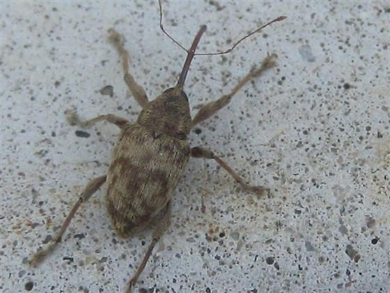 Small bug with long snout - Curculio