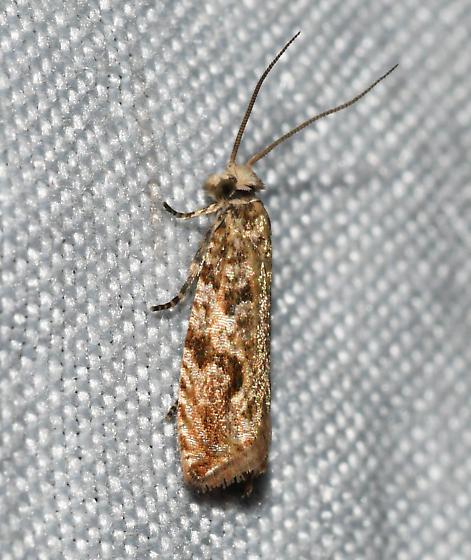 Unidentified - Bactra furfurana