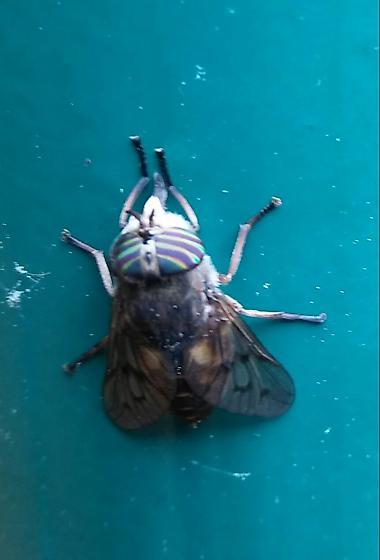Horsefly? - Hybomitra lasiophthalma - female