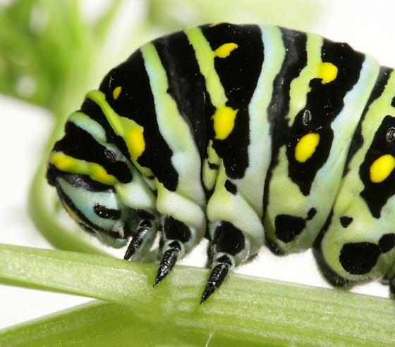 Black Swallowtail--Larva, head and true legs - Papilio polyxenes