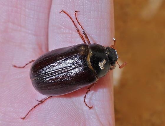 Phyllophaga