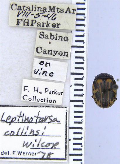 This may now be Calligrapha - Leptinotarsa collinsi