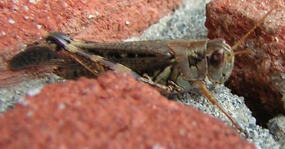 Migratory Grasshopper for PA - Melanoplus sanguinipes - female