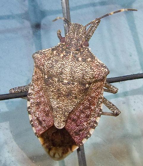 Brown Marmorated Stink Bug? - Halyomorpha halys