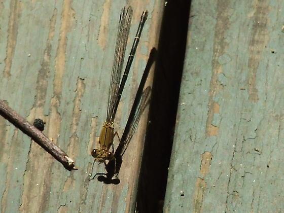 Damselfly - Argia apicalis
