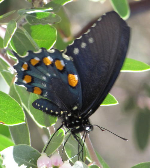 Butterfly - Battus philenor - female