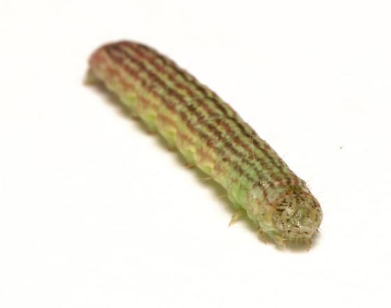 Pyralidae, Striped Sumac Leafroller, frontal - Sciota subfuscella