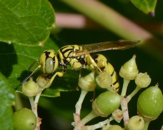 wasp ? - Philanthus