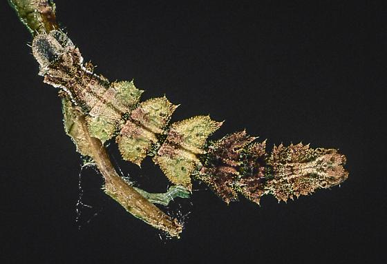Nemoria mimosaria