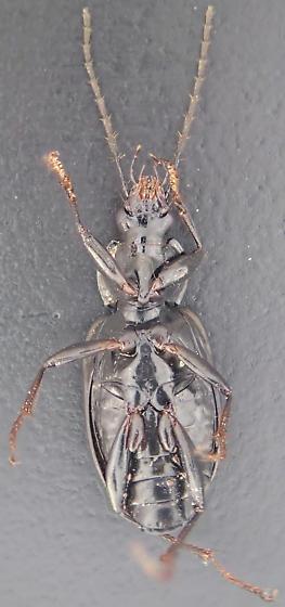 Beetle - Agonum melanarium - male