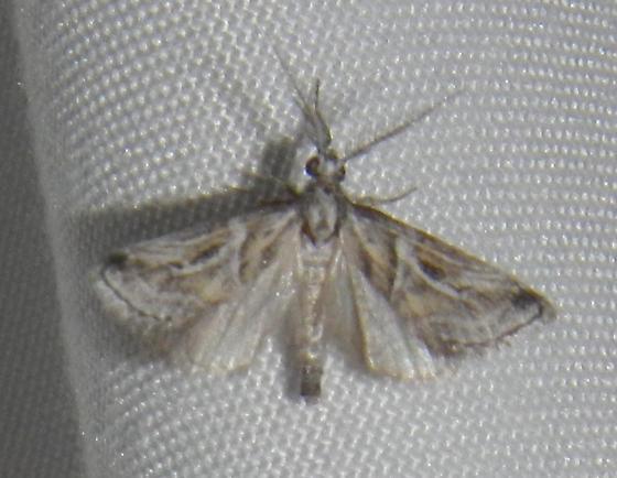 Unknown Moth - Decaturia pectinalis - male