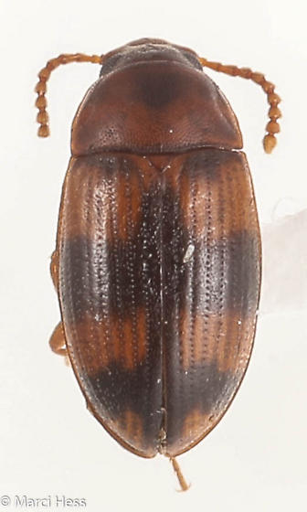 Mycetophagidae ? - Alphitophagus bifasciatus