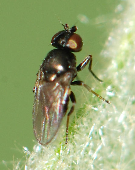 fly - Oscinella