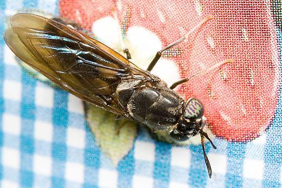 fly - Hermetia illucens