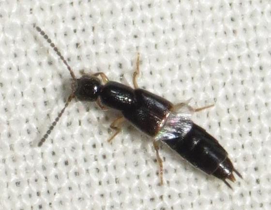 tejon rove beetle #1