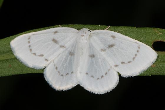 Eudeilinia herminiata