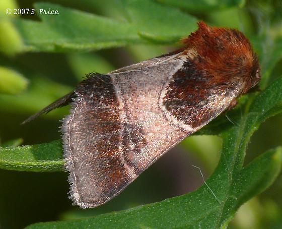 moth sp? - Schinia arcigera