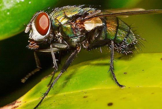 Genus Lucilia bottle fly - Lucilia