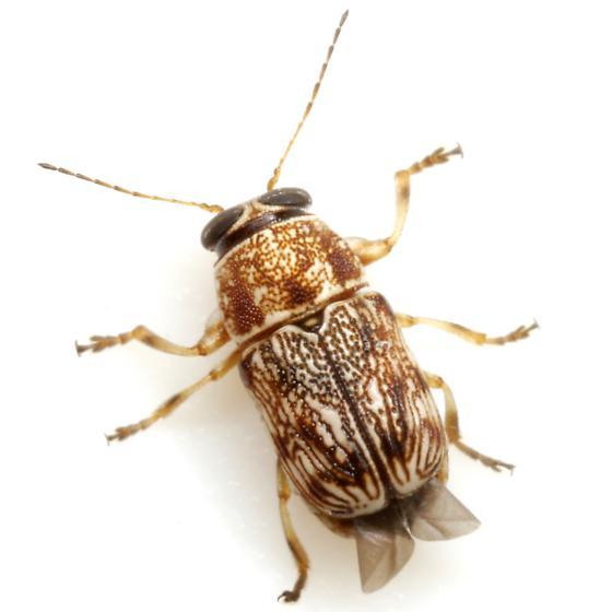 Pachybrachis texanus Bowditch - Pachybrachis texanus - female