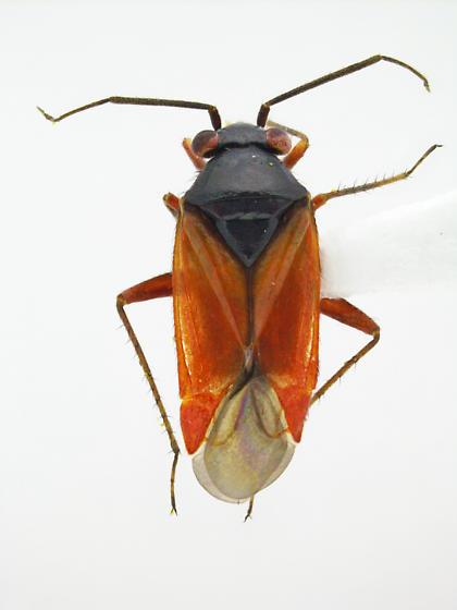 Megalopsallus ephedrae - male
