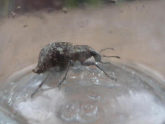 mystery bug - Trichalophus