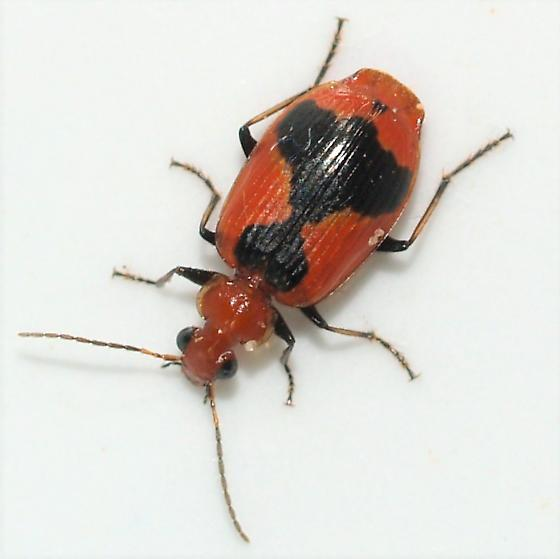is this L histrionica? - Lebia histrionica