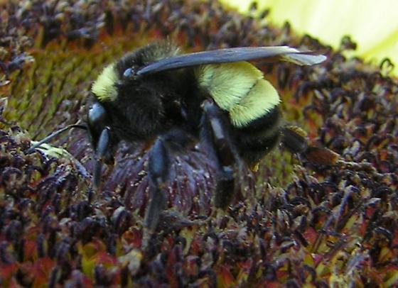 Bumblebee in VA - 1 of 2 - Bombus pensylvanicus - female