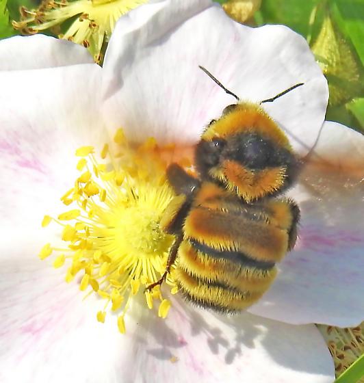 Bumblebee on Wild Rose - Bombus borealis
