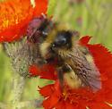 Bumblebee - Bombus insularis