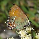 Callophrys gryneus siva - Callophrys gryneus