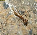 Phasmatocoris labyrinthicus - female