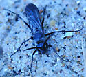Family Pompilidae - Spider Wasps Genus Episyron - Episyron