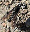 Thevenetimyia muricata - female
