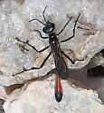 Ichneumon Wasp - Ammophila