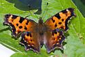 Funky Looking caterpillar - Polygonia faunus