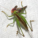 Short-winged  Meadow Katydid - Conocephalus brevipennis - female