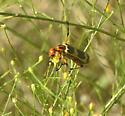Meloidae sp. - Pyrota
